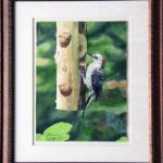 Red Bellied Woodpecker Framed